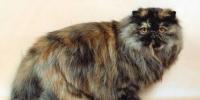В космический полет может быть отправлена персидская кошка властями Ирана